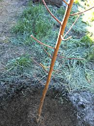 planting bare root trees in clay soil or u2026we now have an orchard