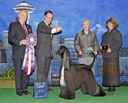afghan hound group dogster predictions who will win the westminster dog show
