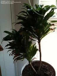plantfiles pictures dracaena u0027janet craig compacta u0027 dracaena