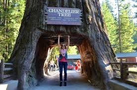 Chandelier Drive Through Tree Chandelier Tree Ca Thesecretconsul Com