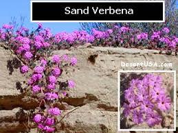 Blue And Purple Flowers Blue And Purple Desert Wildflowers Desertusa