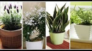 Plants That Don T Need Light Tulsi Plant Gives Oxygen At Night Very Low Light Houseplants Most
