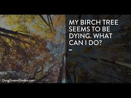 my birch tree is dying what can i do