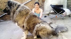 belgian shepherd for sale ireland caucasian shepherd dogs bred for hunting russian bears go on sale