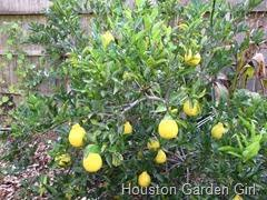 houston garden fruit tree series 1