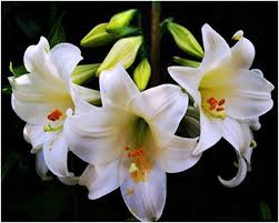 white lilies compare prices on pictures white lilies online shopping buy low