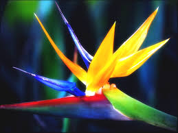 bird of paradise flower best bird of paradise flower wallpaper hd wallpapers