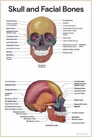 Human Anatomy And Physiology Final Exam Skeletal System Anatomy And Physiology U2022 Nurseslabs