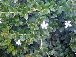 Shrub Small White Flowers - what shrub might i have confused with stephanotis