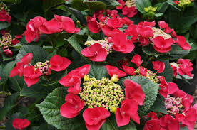 mckay u0027s blog 7 colorful hydrangea shrubs for a low maintenance fall