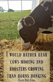 Cow Decor Funny Cow Quotes Funny Quotes Ideas