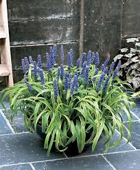 plante vivace soleil achetez maintenant une plante vivace liriope acheter bakker com