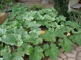 Growing Pumpkins On A Trellis Growing Pumpkins Bonnie Plants