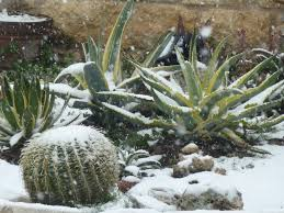 a rare snow garden in austin tx central texas gardening