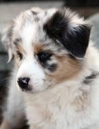 australian shepherd x golden retriever 163 best puppy love images on pinterest australian shepherd