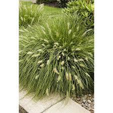 shop monrovia 3 quart grass at lowes