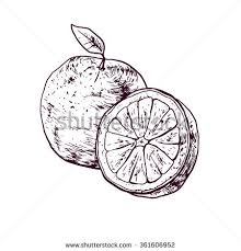 vector hand drawn lime lemon set stock vector 473657044 shutterstock