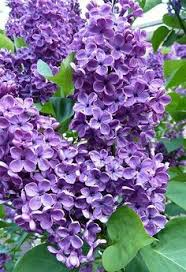 Spring Flower Pictures Lilacs Spring U0027s Favorite Perfume Lilacs Heart Shapes And Pastels