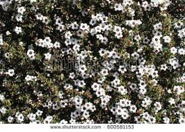 Tree With Little White Flowers - leptospermum stock images royalty free images u0026 vectors