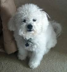 bichon frise dog pictures brady the bichon frise dogs daily puppy