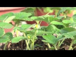 how to grow strawberries inside how to grow strawberries youtube