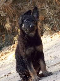 belgian sheepdog craigslist king shepherd dogs home facebook