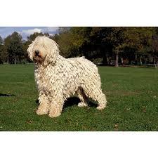 belgian sheepdog poodle mix komondor dog breeds dog com
