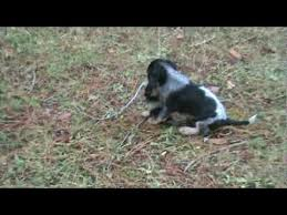 bluetick coonhound puppies for sale training a blue tick coon hound puppy 8a myeyes2you youtube