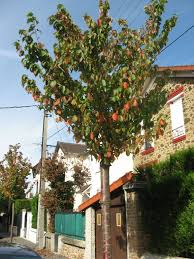 native plants in france paris street trees the sanguine root