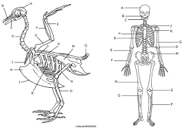 Halloween Skeleton Names Comparing A Human And Avian Skeleton