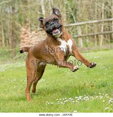 boxer dog with tail boxer dog funny stock photos u0026 boxer dog funny stock images alamy