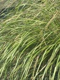 of illinois extention office ornamental grasses exle