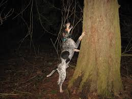 coon hunting for kids biggamehoundsmen com