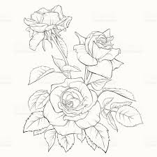 design flower rose drawing rose flower handdrawn contour lines and strokes element for design
