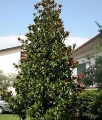 evergreen ornamental trees magnolia grandiflora eugardens