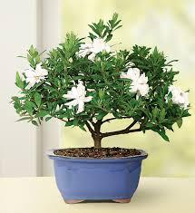 amazon com brussel u0027s bonsai 53805 gardenia bonsai bonsai