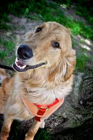 Dog Going Blind What To Do Facilitated Guide Dog 4 Paws For Ability
