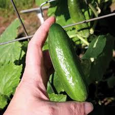 Cucumber Spacing On Trellis Baby Cucumber Seeds
