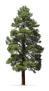 tree shrub care faqs are my pines dying