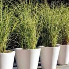 242 best ornamental grasses images on ornamental