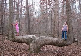 mysterious bent trees are actually american trail markers