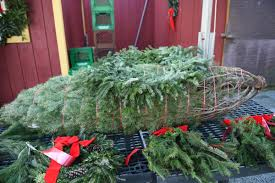 christmas tree season starts with busy post thanksgiving weekend
