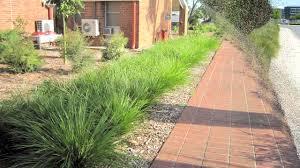 tanika lomandra is a drought tolerant landscape plant strappy