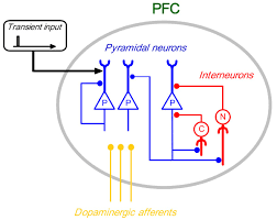 chandelier cells a schematic diagram of the model the pfc contains pyramidal