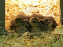 best duck names backyard chickens
