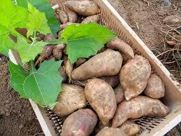 poire de terre cuisine acheter la poire de terre 28 images pomme de terre monalisa