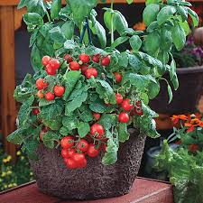 Types Of Patio Tomatoes Red Robin Tomato Seeds From Park Seed