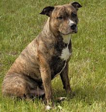 american pitbull terrier apbt looking for information about brindle pit bulls read these facts