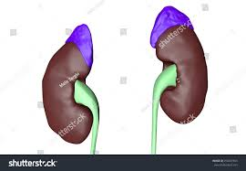 urinary system men prostate stock illustration