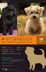 affenpinscher in texas affenpinscher dog breed information pictures characteristics